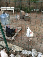 The chickens at the house, looking forward to the scraps from supper