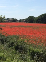 Poppy field at the side of the Veloroute Du Calavon near Goult
