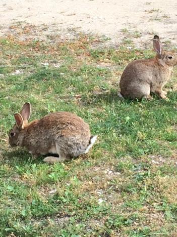Luberon rabbits munching their way through the garden at Maubec