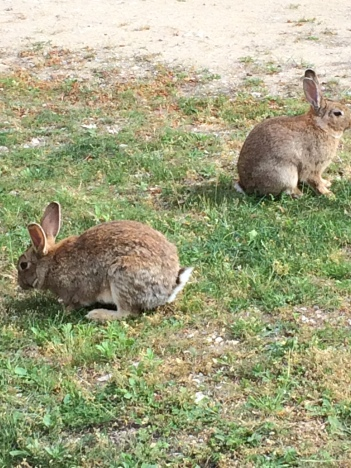 Luberon rabbits munching their way through the garden at Maubec