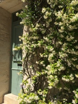 Jasmine in full bloom, scenting the whole street