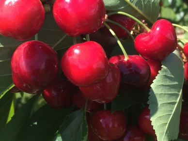 Photo of cherries taken last Thursday 21/05