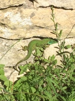 Not what I had expected to see - much bigger that the normal lizards that usually scuttle away