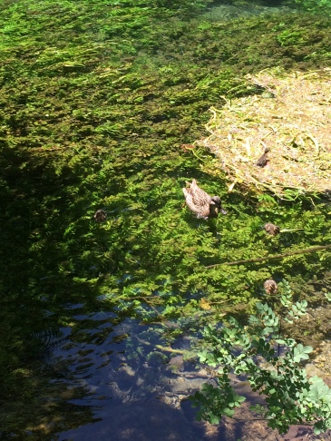A perfect picnic spot at Fontaine De Vaucluse watching a gaggle of ducklings playing in the weeds
