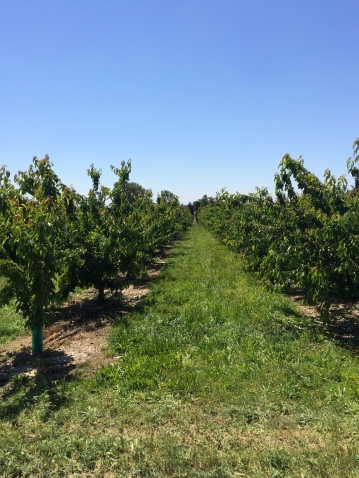 Back through the cherry orchards near Lagnes