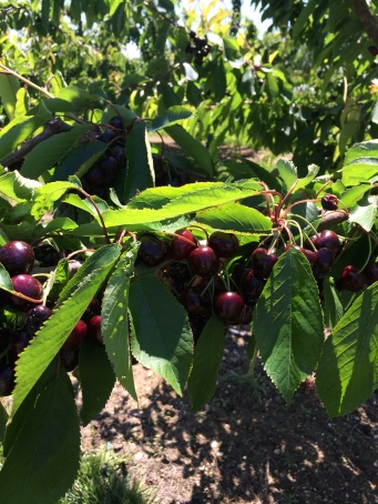 Cherries in the same orchard taken today - one week on