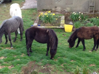 Some of the 13 Dartmoor ponies that had found their way into our garden one morning