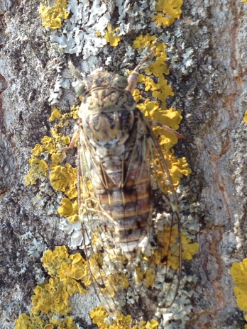 La Cigale - the Cicada
