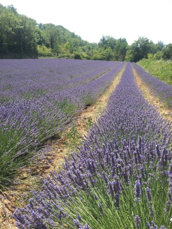 Lavender field near Sault - August 2014