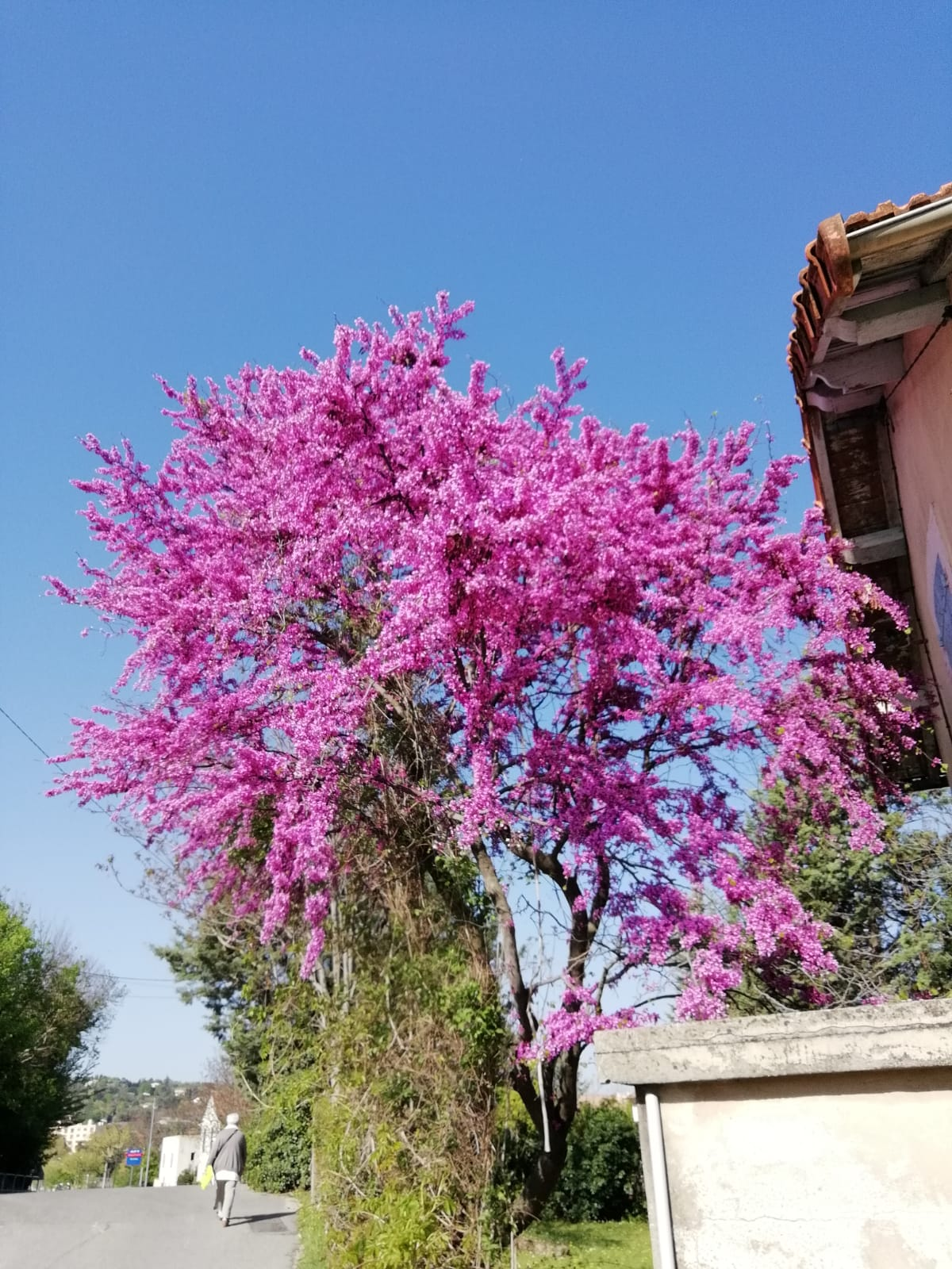 Joyful colour of the Judas Tree