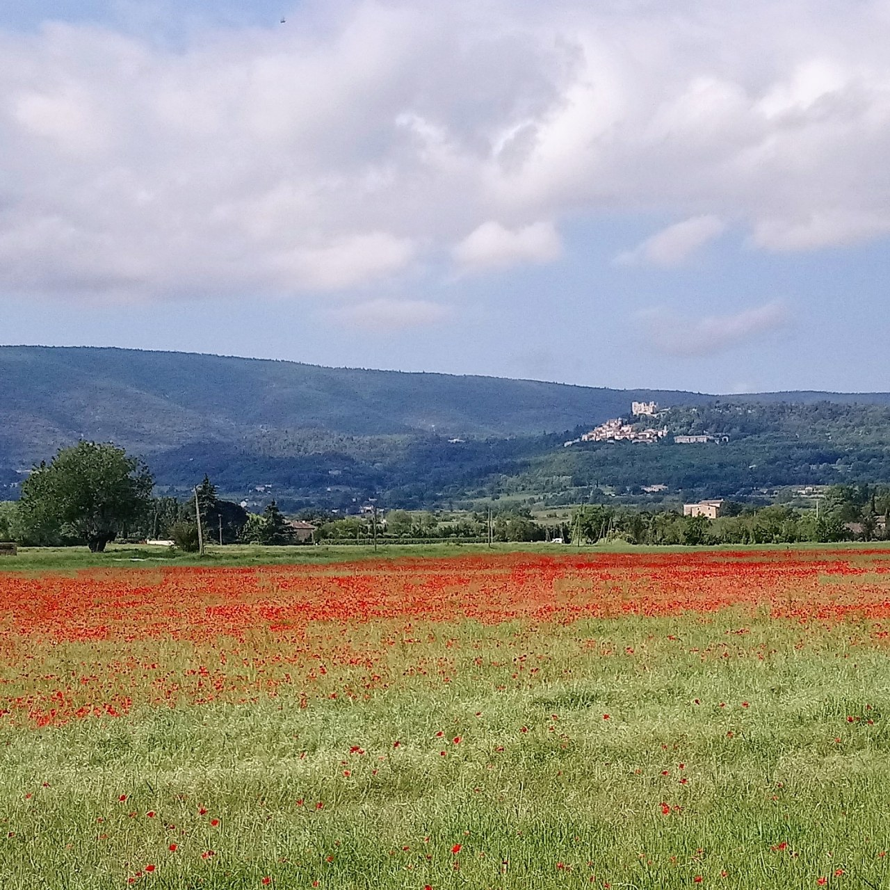 Poppies & Cherries – Provence has turned red.