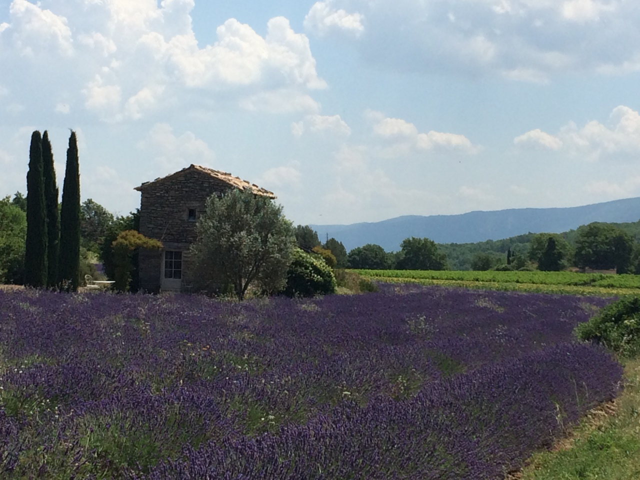 Purple Provence. Lavender Season in the Vaucluse